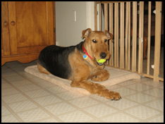 Airedale lounging with tennis ball