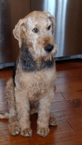 Buster Airedale ready for adpotion