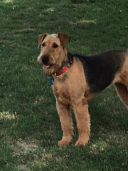 Diva_Beautiful Airedale up for Adoption