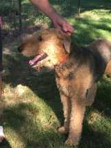 Reese the Airedale