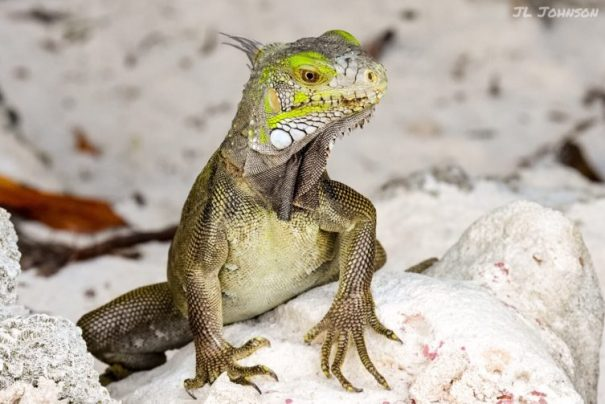 A green Iguana, because after all, this is a story about Aruba.