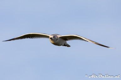 Vogel; type meeuw