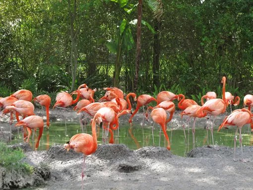 Flamingos no Miami Zoo