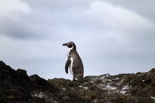 Pinguins na Pinguinera Ancud Chile