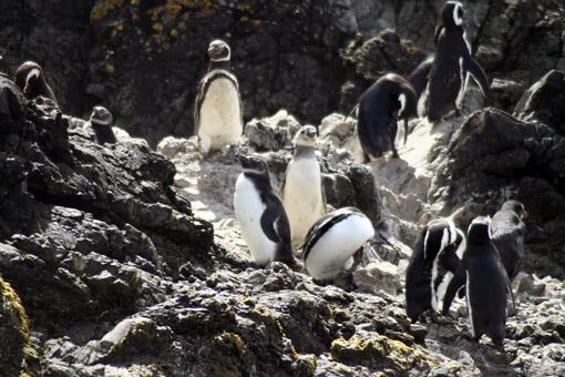 Pinguins na Pinguinera Ancud 4