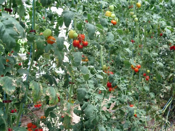 CuisinArt Resort Golf & SPA tomates