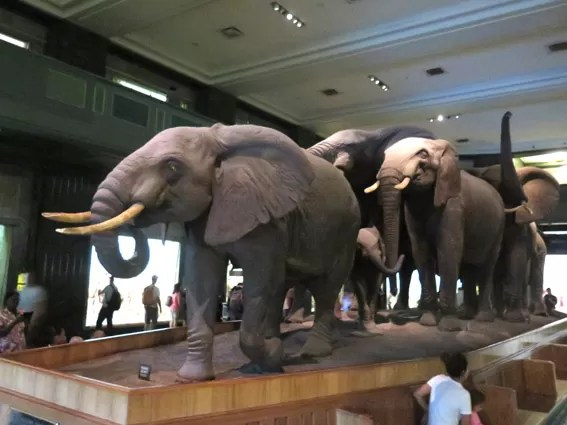As Laranjinhas em NY - Elefantes do Museu de História Natural