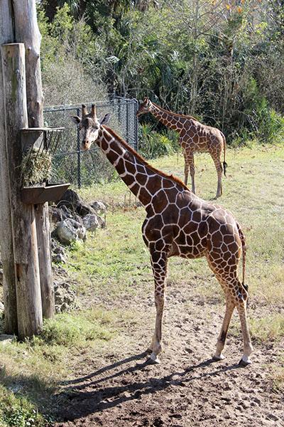 Zoo Jax Girafa