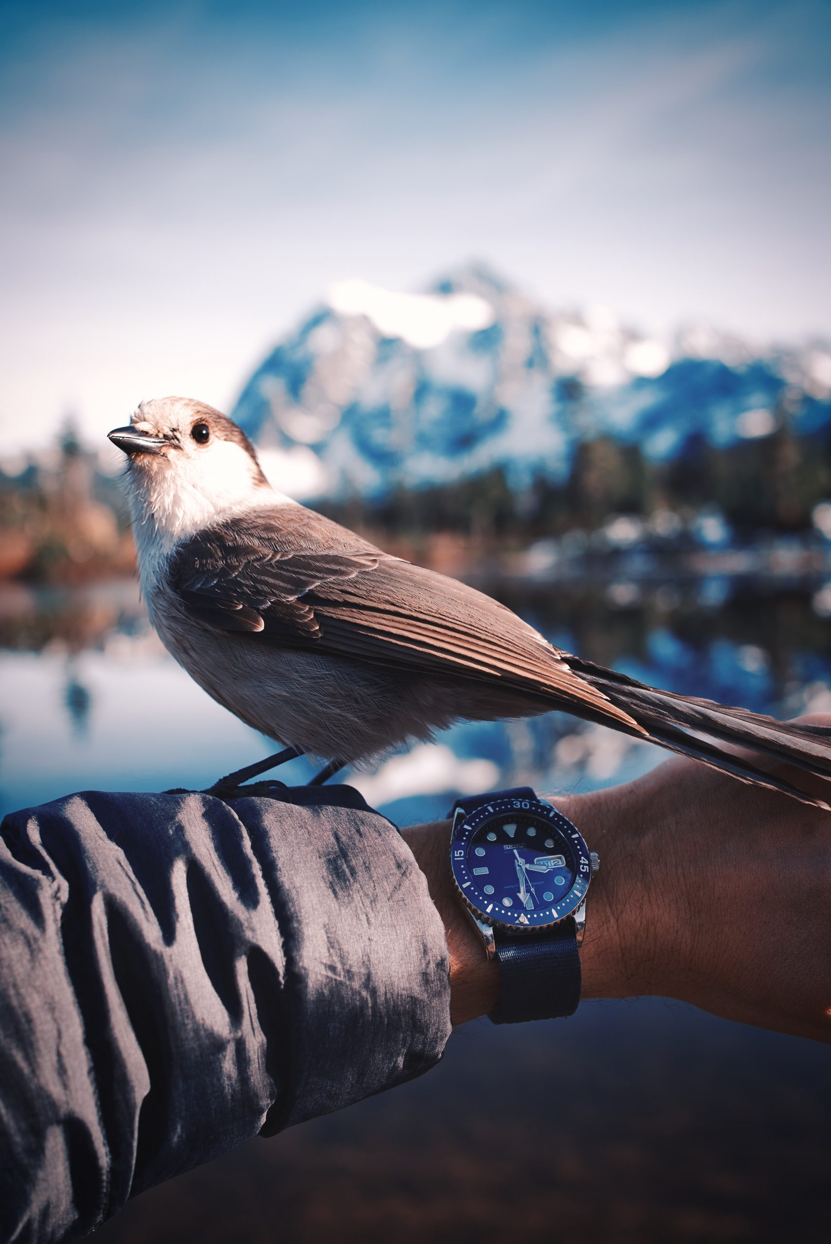 Snow jay on top of a grey sleeve, wrist shot with Mt. Shuksan in background