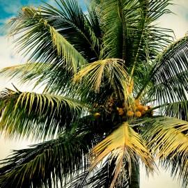 Palm Tree | Honduras (2013)