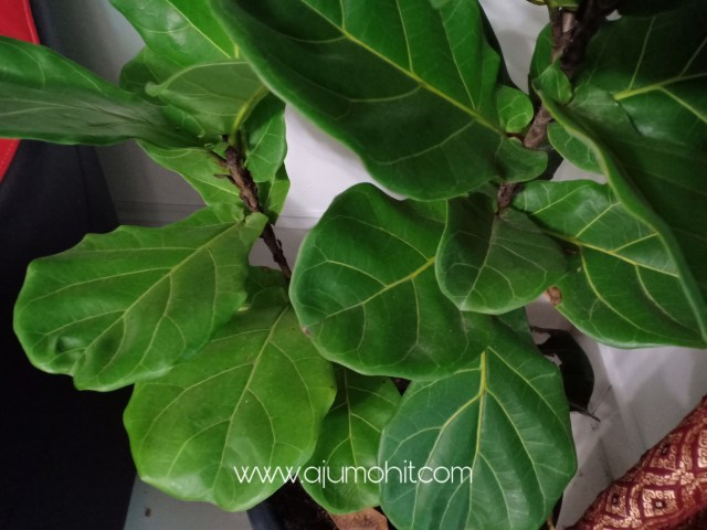 daun fiddle fig