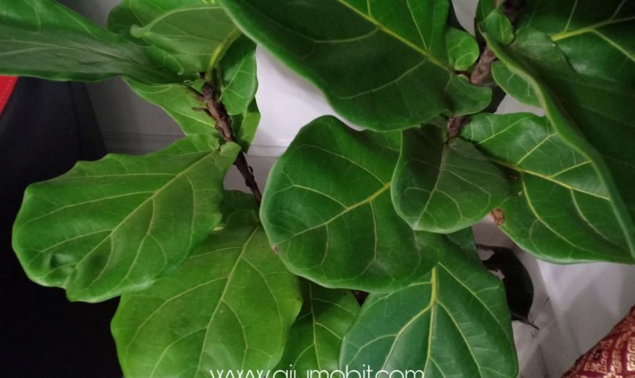 Cara jaga fiddle fig indoor plant, pencahayaan memang penting