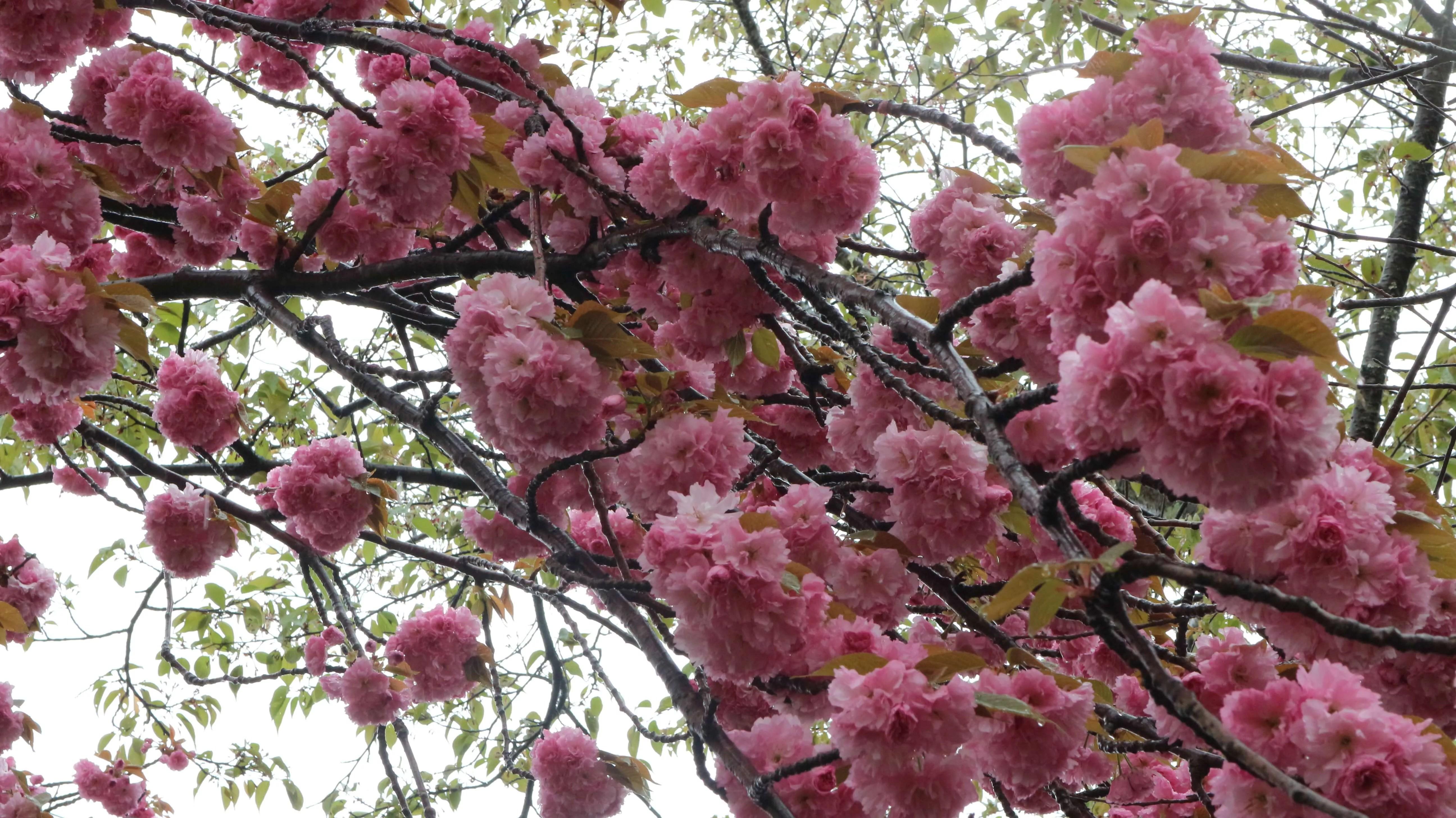 知る人ぞ知る京都の桜の名所原谷苑で遅めの花見