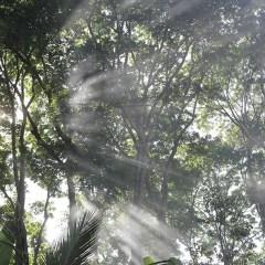Pohon Mahoni