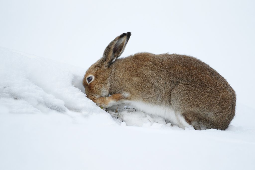 Image result for rabbits digging in snow