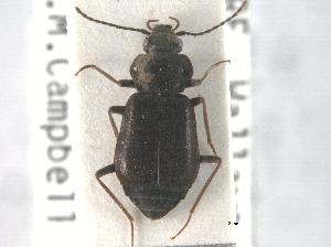 A Phlaeopterus specimen.
