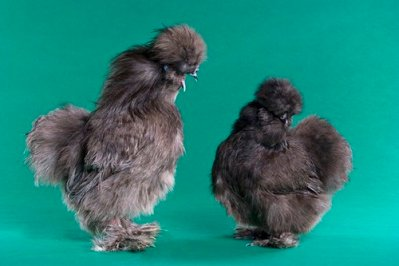 Blue silkies