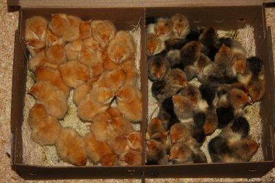 Chicks - so cute!
