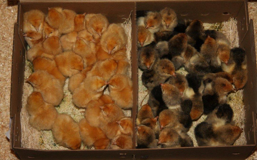 Chicks!
