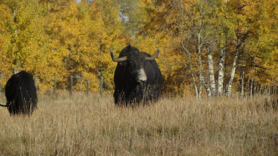 Male yak