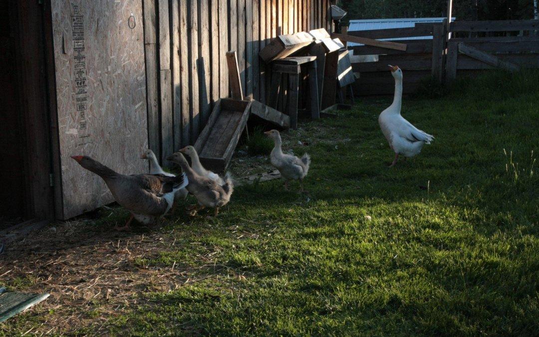 Goslings getting bigger!