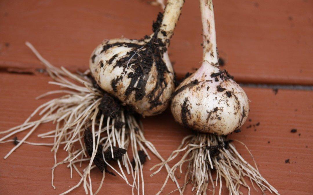 The garlic is ready!