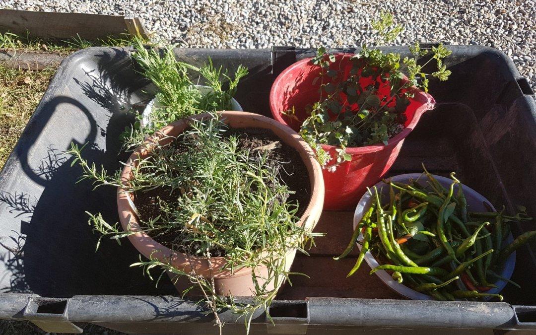 Last greenhouse harvest