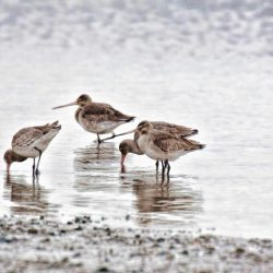 Godwits at Stanpit Marshes