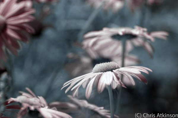 Oxeye Daisies in Colour Infrared.