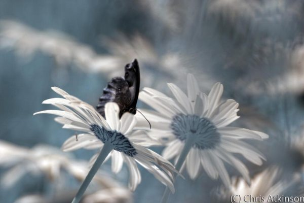 Ringlet Butterfly & Oxeye Daisies in Colour Infrared