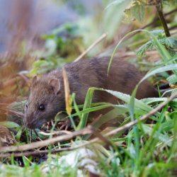 Rat in grass