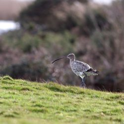 Curlew walking at Stanpit Marshes