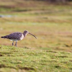 Curlew at Stanpit Marshes