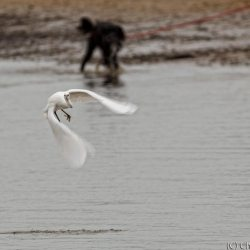 Little Egret flying off from dogs