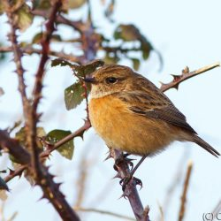 Stonechat in brambles. (Cropped)
