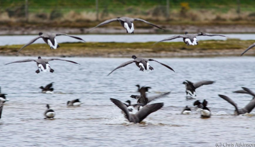 Brent Geese incoming