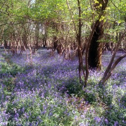 Combined 2 shots of Blue Bells at Garston Wood (4)