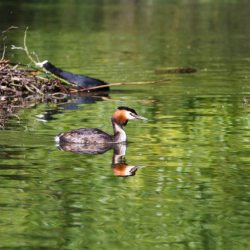 Great Crested Grebe with Coot nest building