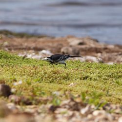 Ducking Pied Wagtail