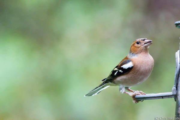 Chaffinch with Adjustments to Noise and Sharpness