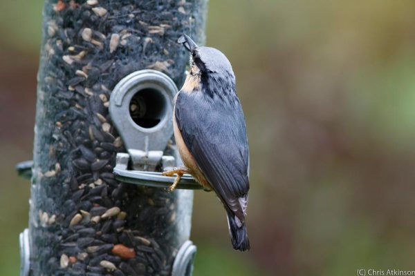 Nuthatch-adjusted3200