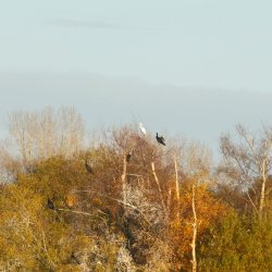 Great White Egret in trees with Cormorants
