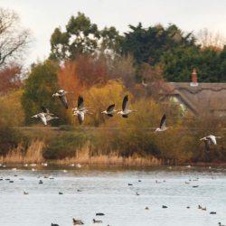 Greylag Geese in Flight(2)