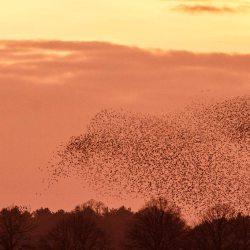 Starling Murmuration (5)