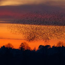 Starling Murmuration (7) - The A Bomb