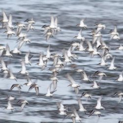 Dunlins in Flight (2)
