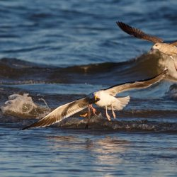 Black-backed gull with Fish