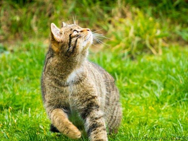 Scottish Wildcat (2)