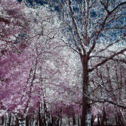 New Forest (Bolderwood) Infrared (5)