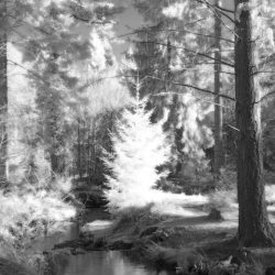 New Forest (Bolderwood) Infrared (3)